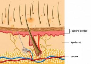 Schéma de la peau du chien
