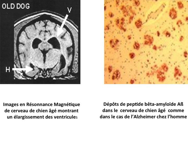 Alzheimer du chien âgé